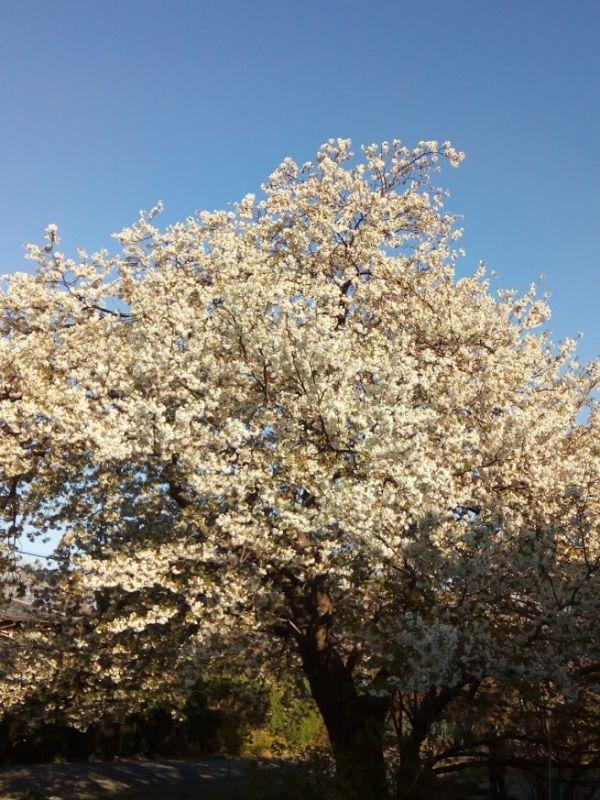 白い桜が満開でした