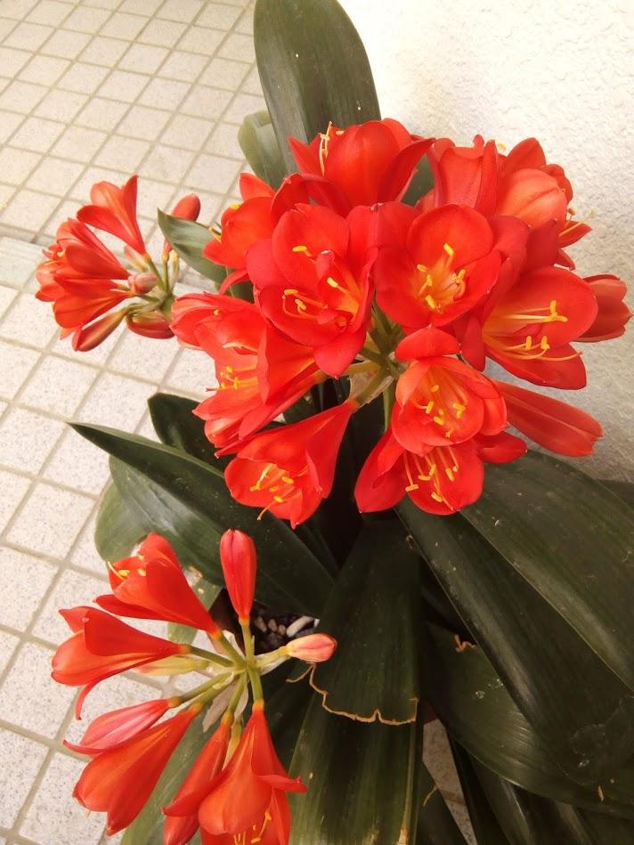 君子蘭咲きました!